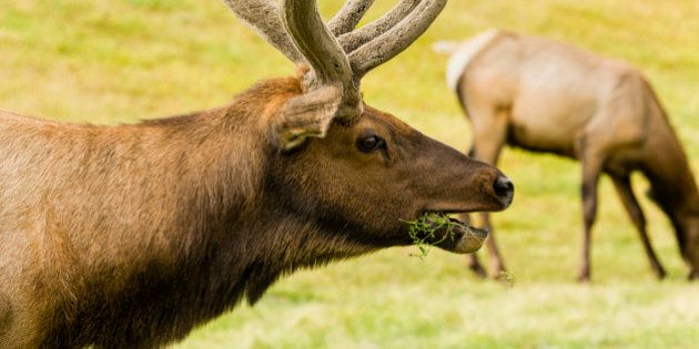 Captive elk (Cervus canadensis) grazing on grass at the Alaska Wildlife Conservation Center in Portage...