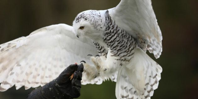 close up of a snowy owl