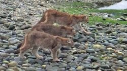 Cougar In Rare Photos