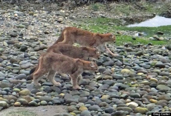 Cougar Seen In B.C. Photos