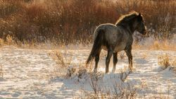 60 Wild Horses To Be Captured, Adopted