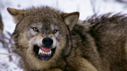 Wolves Attack Dogs On Vancouver
