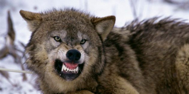Wolf Attack In Pacific Rim Park Leaves Dogs Injured, Another