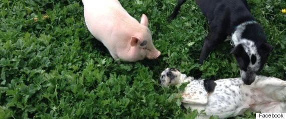 Wilbur The Pig Is The Happiest Dogsitter You'll See All