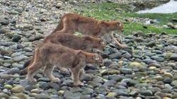 LOOK: Rare Sighting Of Cougar