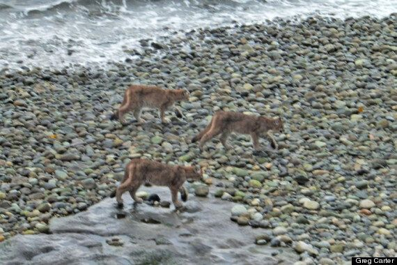 Cougar Family Spotted In Rare Photos From B.C. Sunshine