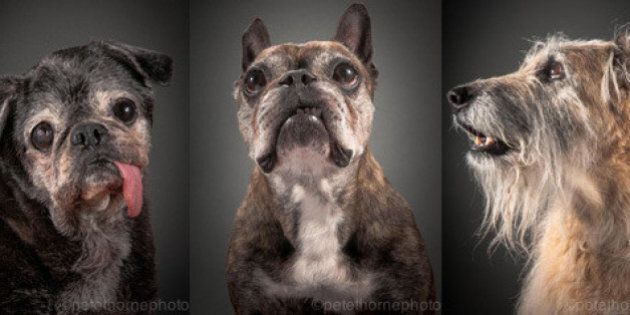 Photographer Pete Thorne Turns Older Dogs' Photos Into Beautiful