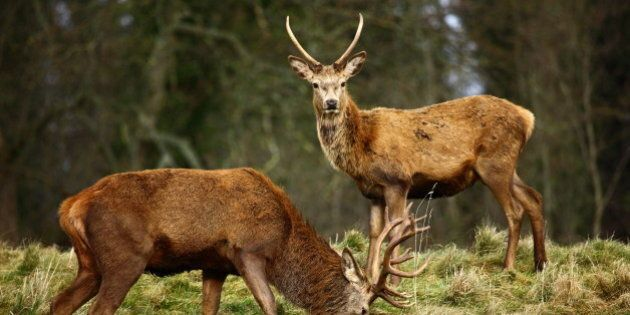 red deer stags in autumn