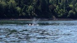 Killer Whales In Vancouver Have Perfect