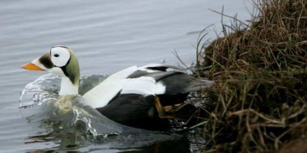 BROWERVILLE, AK - JUNE 05:  A Spectacled Eider, one of the priority birds to be tested for Avian Influenza, swims in a body of water June 5, 2006 in Browerville, Alaska. Officials from the USDA are beginning to test migratory birds arriving from Asia and Russia for Avian Influenza.  (Photo by Justin Sullivan/Getty Images)