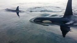 B.C. Orcas Feel GOOOOD Rubbing Themselves At