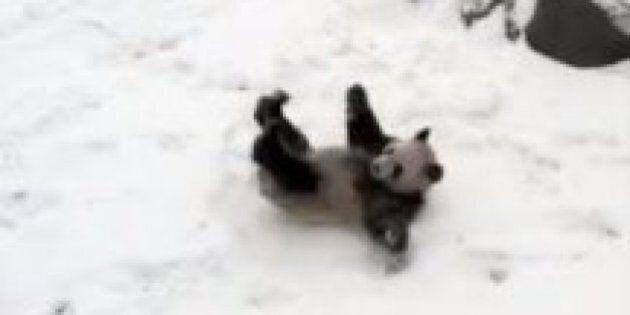 Toronto Zoo Panda's Adorable Snowy Tumble Will Melt Your Heart