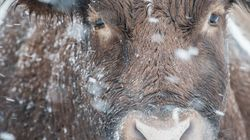 Cattle Comfort