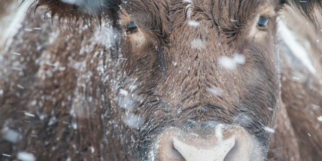 Cattle On Prairies Need Additional Calories As Deep Freeze