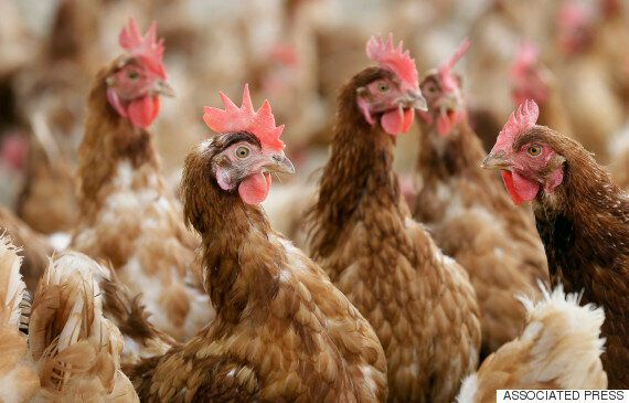 Elite Services Employees Fired After Graphic Video Of Alleged Chicken Abuse