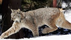 How Long Will Minister Aglukkaq Ignore the Problem of Endangered Species? asks