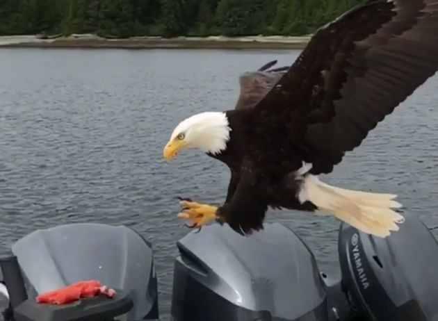 Bald Eagle Swoops Down To Snatch Salmon From B.C.