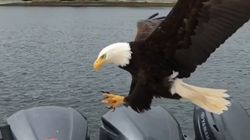 Bold Eagle Swoops Down To Snatch Salmon From B.C.