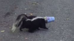 Canadian Skunks Can't Stop Getting Stuck In McFlurry