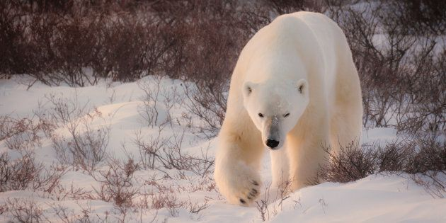 Large adult male polar bear walking in the