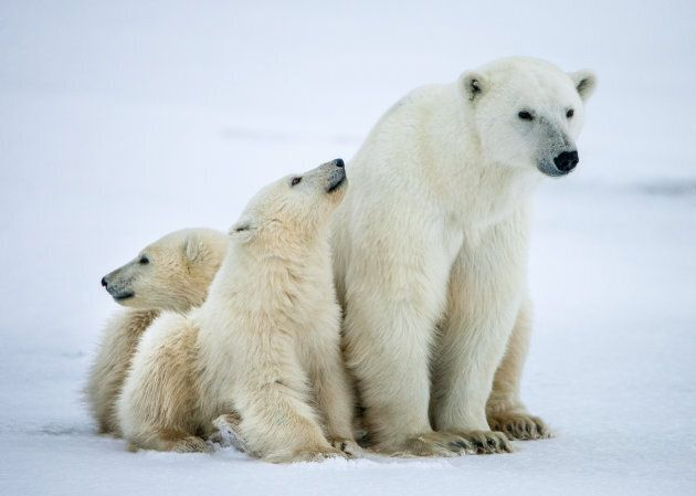 A mother bear and her cubs pause on the