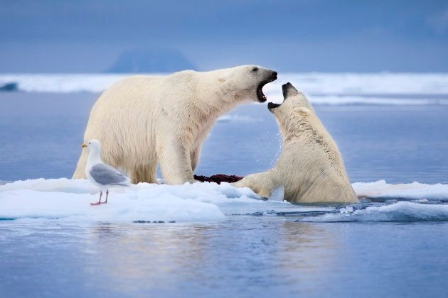 Two male polar bears fight for the right to claim a dead seal carcass the rests on a small ice