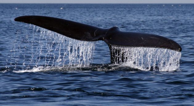 Another North Atlantic Right Whale Corpse Discovered In Gulf Of St.