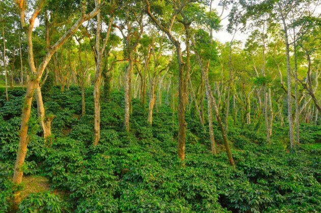 Shade-grown coffee on Pete Poovanna's father's farm in India.