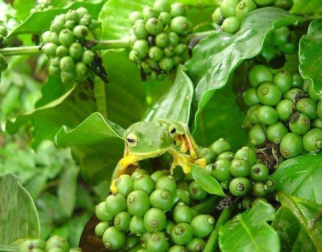 Wild frog on the coffee bush