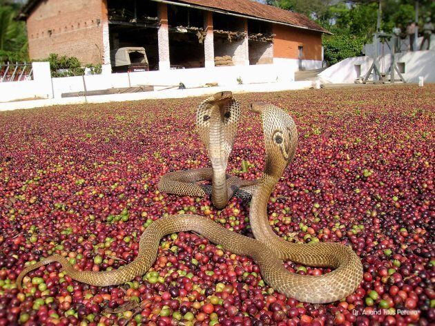 Indian cobras getting ready to engage over the coffee beans.