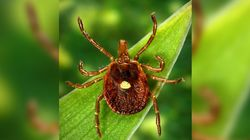Tick That Can Cause Meat Allergies Is Now In