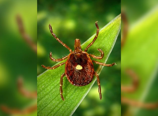 Lone Star Tick Bite Can Make A Person Allergic To Red