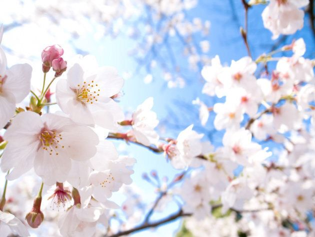 Cherry blossoms, known as sakura in