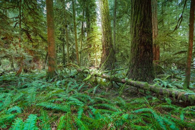 Detailed photograph of sunlight streaming in to Cathedral Grove Forest, in B.C.