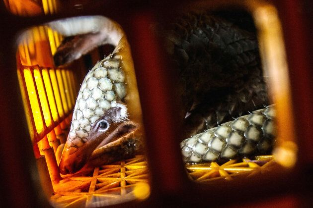 A pangolin is seen inside a cage after the Navy foiled illegal smuggling operations on June 13, 2017 in Medan, Indonesia.