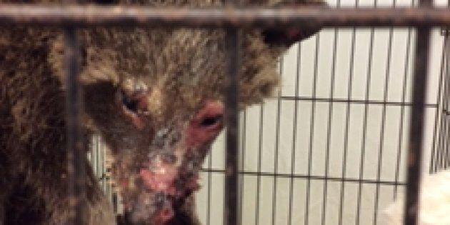 The raccoon was brought to Procyon Wildlife Centre in Beeton, Ont., after a woman found the
