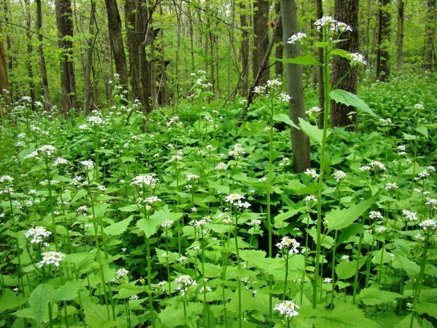 Meet The Invasive Plants Threatening To Destroy Canadian