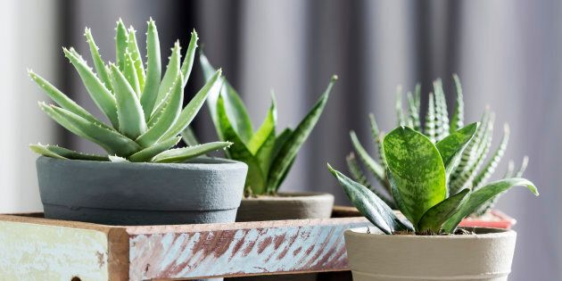 Aloe brevifolia succulent and snake plant in living