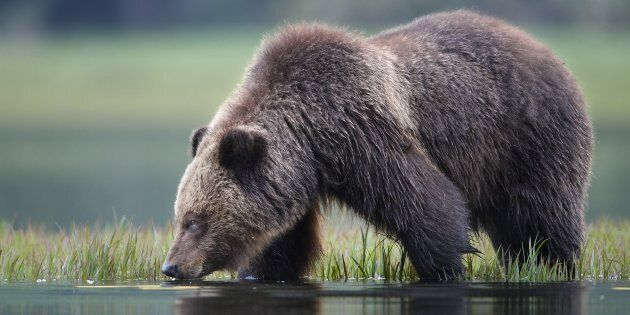 A grizzly bear drinks water in Khutzeymateen Inlet of the Great Bear Rainforest along the northern coast...