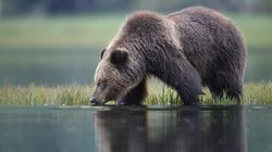 B.C. Bans Trophy Hunting Grizzly