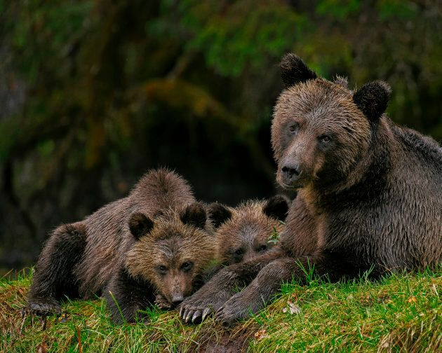 A female grizzly bear and her two cubs are shown in the Great Bear Rainforest,