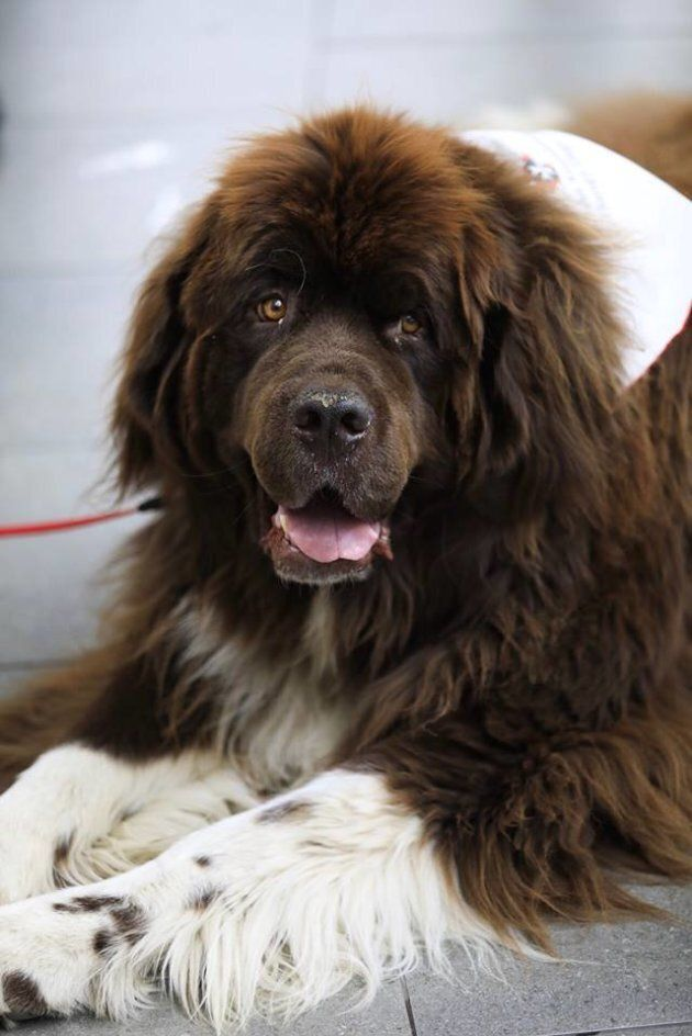 Big Norm is one of YVR's new therapy dogs. He is most definitely a good dog.