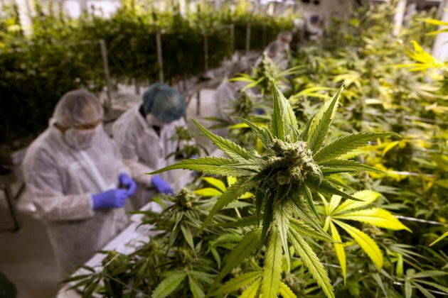 Production staff harvest marijuana plants inside the flowering room at Harvest One Cannabis Inc. in Duncan,...