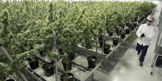 Tweed employee Ryan Harris works inside the flowering room at Tweed Inc. in Smith Falls, Ontario, on...