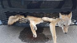 Coyote Was Probably Just As Surprised As The Driver To Survive