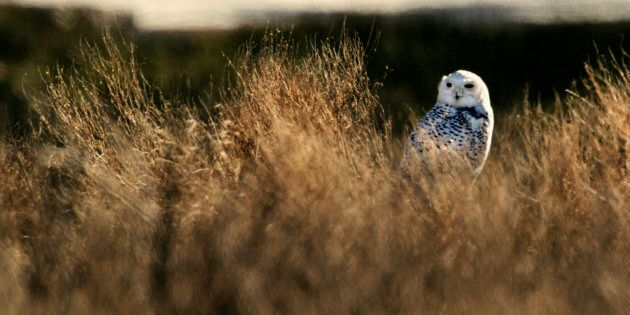 A snowy owl finds its camouflage useless in the brown grass of a marsh in Delta, British Columbia, just...