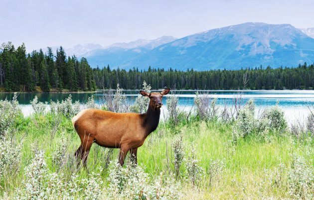 A female elk stands near Lake Annette in Jasper National Park,