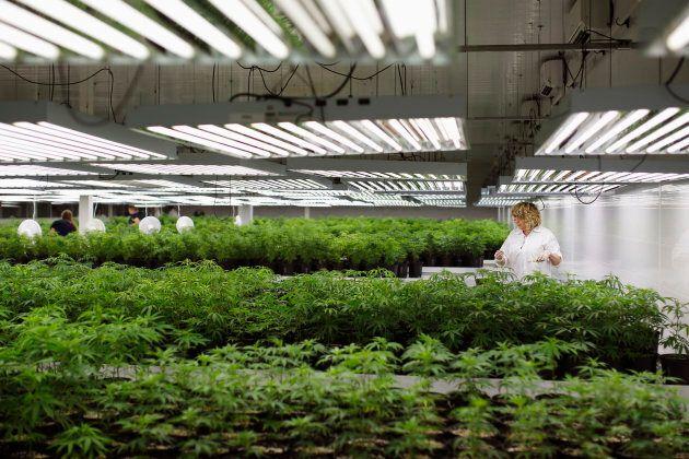 Marijuana plant clones at an Ontario cannabis