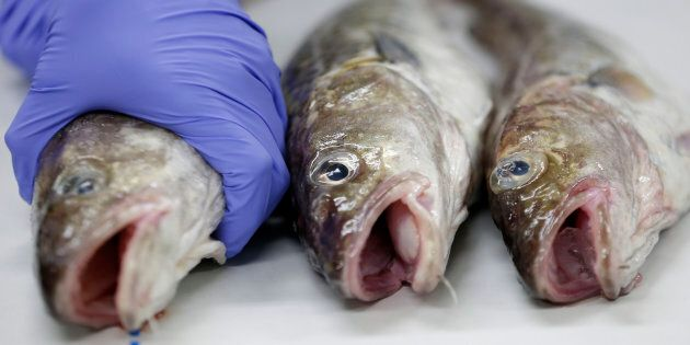 A Japanese laboratory worker holding a fish during a radioactive analysis on Dec. 10, 2013. A B.C. chemical...