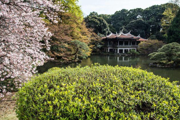 Sakura cherry blossoms at Shinjuku Gyoen Garden on March 31,